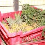 Pineapples and Moringa For Abrofresh Juice