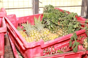 Pineapples and Moringa For Abrofresh Juice
